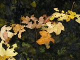 Fallen leafs in a watering-place by BernieSpeed, Photography->Nature gallery