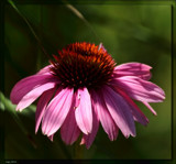 The Coneflower by tigger3, photography->flowers gallery