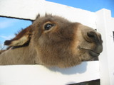 Who Say Donkeys Dont Smile? by oolongcamio, Photography->Animals gallery