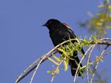 City Birds III: Morning Blackbird by theradman, Photography->Birds gallery