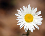 Daisy on Brown by Pistos, photography->flowers gallery