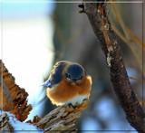 The Eastern Bluebird by tigger3, photography->birds gallery