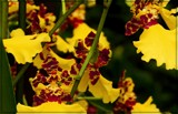 Oncidium Orchids by trixxie17, photography->flowers gallery