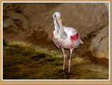 Spoonbill Crane by Jimbobedsel, photography->birds gallery