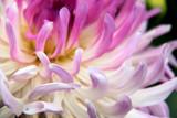Dahlia Swirl by papadave, photography->flowers gallery