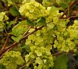 Popcorn Viburnum by trixxie17, photography->flowers gallery
