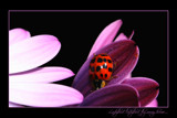 ladybird, ladybird, fly away home by JQ, Photography->Insects/Spiders gallery