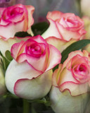 Rosebuds by jeenie11, photography->flowers gallery