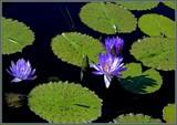 Waterlilies by trixxie17, photography->flowers gallery