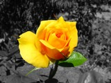 Yellow Rose by Crusader, photography->flowers gallery