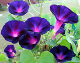 Morning Glories by holliscdl, photography->flowers gallery