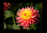 The Beauty Of TheDahlia _ second posting by tigger3, Photography->Flowers gallery