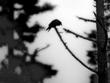 Raven Song by mayne, Photography->Manipulation gallery