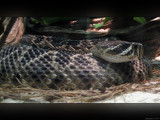 Rattlesnake Shake by Hottrockin, Photography->Animals gallery
