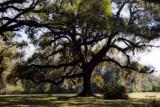 Live Oak by 100k_xle, Photography->Landscape gallery