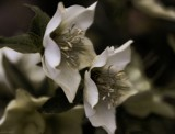 Hellebores at Dusk by LynEve, photography->flowers gallery
