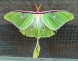 Lunar Moth by Pistos, photography->butterflies gallery