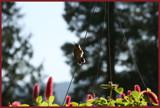 Hummingbird by ttcRose, Photography->Birds gallery