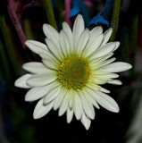 Store Bought Lovely by tigger3, photography->flowers gallery