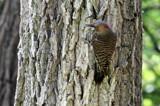 Northern Flicker by Pistos, photography->birds gallery