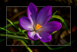 Lone Crocus by corngrowth, photography->flowers gallery