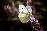 White Butterfly 2 by LynEve, photography->butterflies gallery