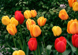 Springtime is for Tulips!! by verenabloo, Photography->Flowers gallery