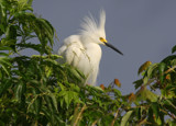 Snowy Egret in Mating Splendors by Vivianne, Photography->Birds gallery