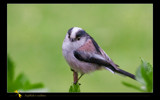 Long-tailed Tit # 2 by kodo34, Photography->Birds gallery