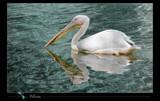 Pelican by kodo34, Photography->Birds gallery