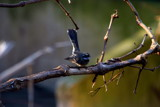 Grey Fantail by lindala, Photography->Birds gallery