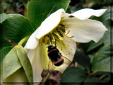 Garden Stroll #5 - Helleborus again by LynEve, photography->insects/spiders gallery