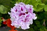 Ballarat Pelargonium 3 by flanno2610, photography->flowers gallery