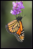 Hangin' In by cynlee, photography->butterflies gallery