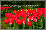 Spring Harbingers by corngrowth, photography->flowers gallery