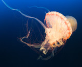 Orange Jellyfish by Pistos, photography->animals gallery