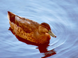 Duck by braces, Photography->Birds gallery