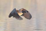 Taking Flight by garrettparkinson, photography->birds gallery