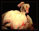 sha la la la la la la la pretty flamingo by JQ, Photography->Birds gallery