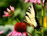 The Eastern Tiger Swallowtail #8 by tigger3, photography->butterflies gallery
