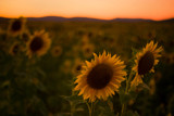 Sunflowers at sunset by 40897, Photography->Flowers gallery