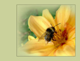 Bee's Reward by LynEve, photography->insects/spiders gallery