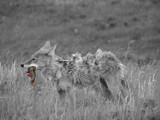 Coyote Lunch by AeroEagle, Photography->Animals gallery