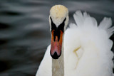 Drippy Swan by braces, Photography->Birds gallery