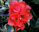 Watermelon Bougainvillea by trixxie17, photography->flowers gallery