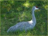 Return to SandHill. #6 by muki7, Photography->Birds gallery
