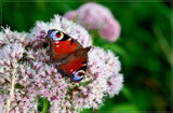 Peacock B On A Wildflower by corngrowth, photography->butterflies gallery