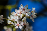 Cherry Blossoms by Pistos, photography->flowers gallery