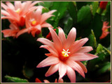 Easter Cactus by trixxie17, photography->flowers gallery