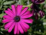 purple daisy by jeenie11, Photography->Flowers gallery